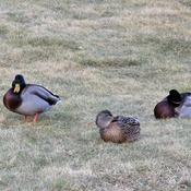 Ducks during Mild Weather