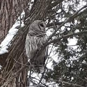 Barred owl near Bowmanville, Ontario