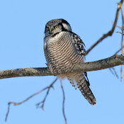 One of several Northern Hawk Owl
