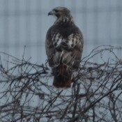 Hawk surveying the area between Victoria St. and GO Transit Maintenance Bldgs