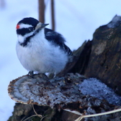 Downy woodpecker and a fungus