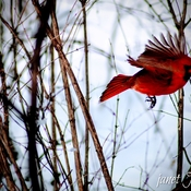 Male Cardinal in flight