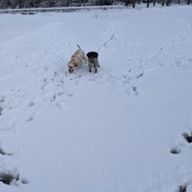 dogs having fun in snow