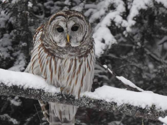 Beautiful Barred Owl Irondale, ON