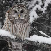 Beautiful Barred Owl