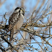Northern Hawk Owl in Ottawa and area
