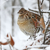 Ruffed Grouse in natural habitat