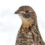 Ruffed Grouse Pertrait
