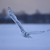 Snowy owl hunting late afternoon