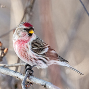 Male Redpoll (finch)