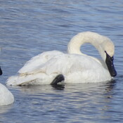 Beautiful White Swans