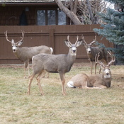 Bucks in Lethbridge