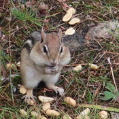 Chipmunk having lunch