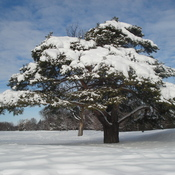 Bonsai Snow Tree