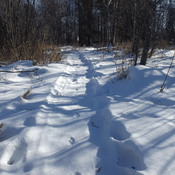 FOLLOW the COYOTE TRACKS