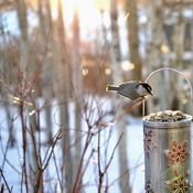 Chickadee at sunset