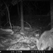 Bobcat and Timber Wolf Interaction