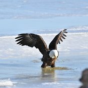 Bald eagles was active in baie de Bouctouche nb.