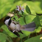 Chickadee Feeding