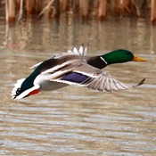 Mallard Duck coming in for landing