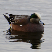 A Wigeon Duck