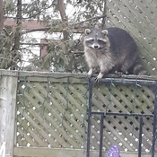 Bernie the Raccoon