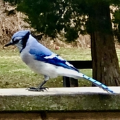 Gorgeous blue jay