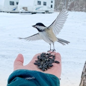 Dancing Chickadee