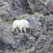 One of a dozen Mountain Goats seen grazing on the cliffs