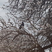 A crow on an almond tree in winter