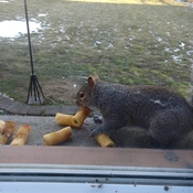 Squirrel enjoying apple cores