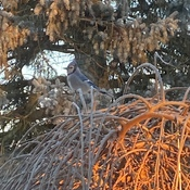 BlueJay at Sunrise in Simcoe