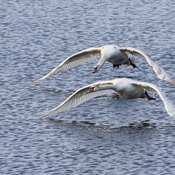 Swans over the Bay of Quinte