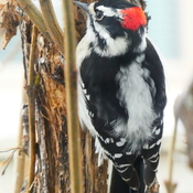 Downy Woodpecker Stands Out in the Fresh Fallen Snow