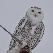 Snowy owl on a snowy day