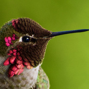 Anna's Hummingbird Close Up