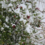 camellias in the snow