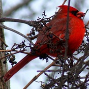 When Cardinals appear, loved ones are near