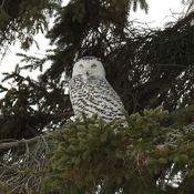 Snowy Owl likes to roost in the same pine tree