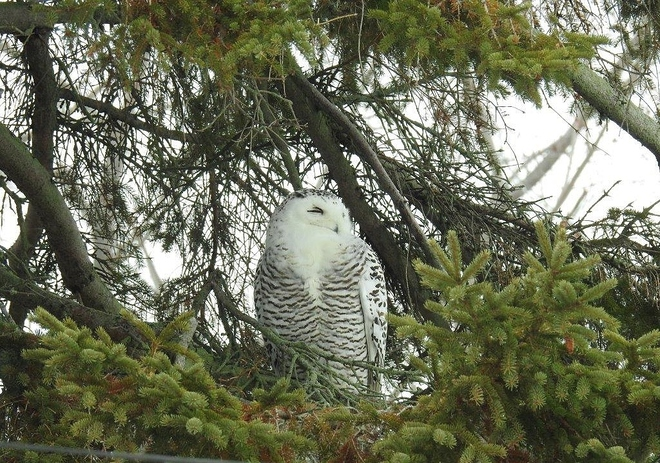 Snowy Owl likes to roost in the same pine tree Brighton, ON
