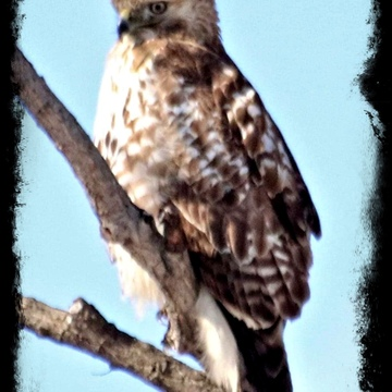 Red tail hawk in West Deane park Etobicoke