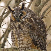 Snowy Long-eared Owl