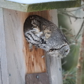 Owlie, the Screech Owl, Chapter 2