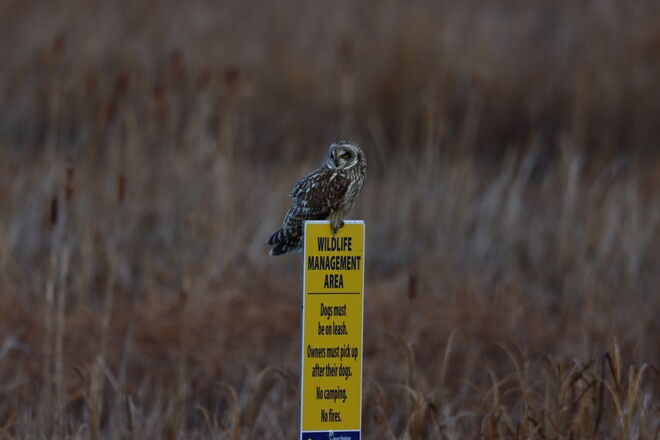Short eared owl. Richmond, BC