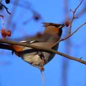 Bohemian waxwing and the berries