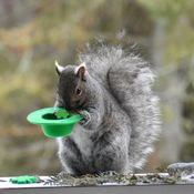 Grey squirrel thinks he's Irish.