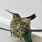 Nesting Time For Anna's Hummingbird!