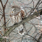Owl in the yard