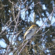 Female Pine Grosbeak