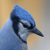 Young Bluejay Contemplates Life